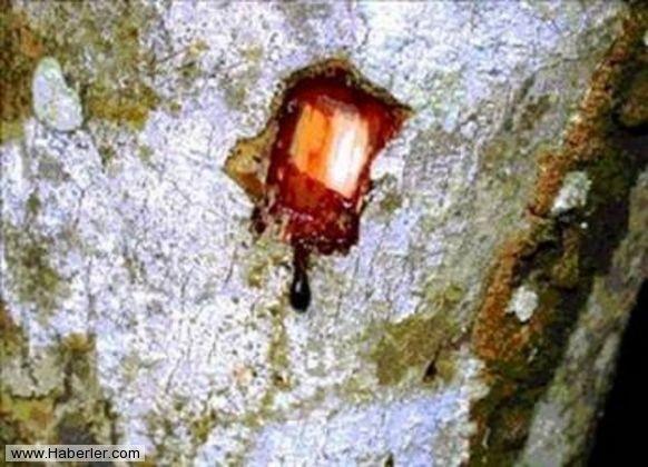 Kan Ağlayan Ağaç 1