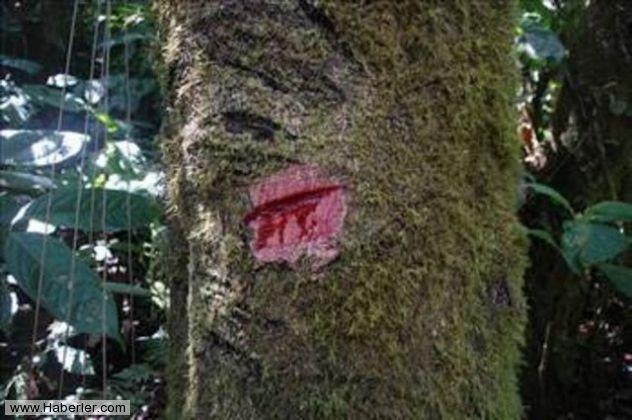 Kan Ağlayan Ağaç 10