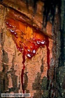 Kan Ağlayan Ağaç 11