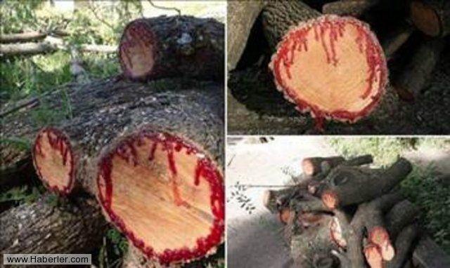 Kan Ağlayan Ağaç 14