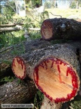 Kan Ağlayan Ağaç 9