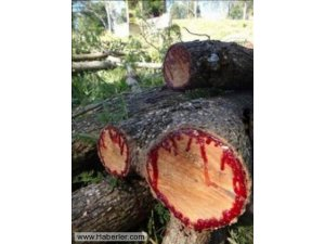 Kan Ağlayan Ağaç