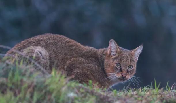 Nesli tehlike altında olan saz kedisi Adana'da görüntülendi 1