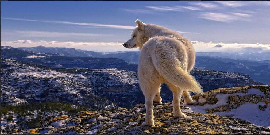 Vahşi Doğanın Lider Yırtıcıları Kurtlar Hakkında Bilinmeyenler