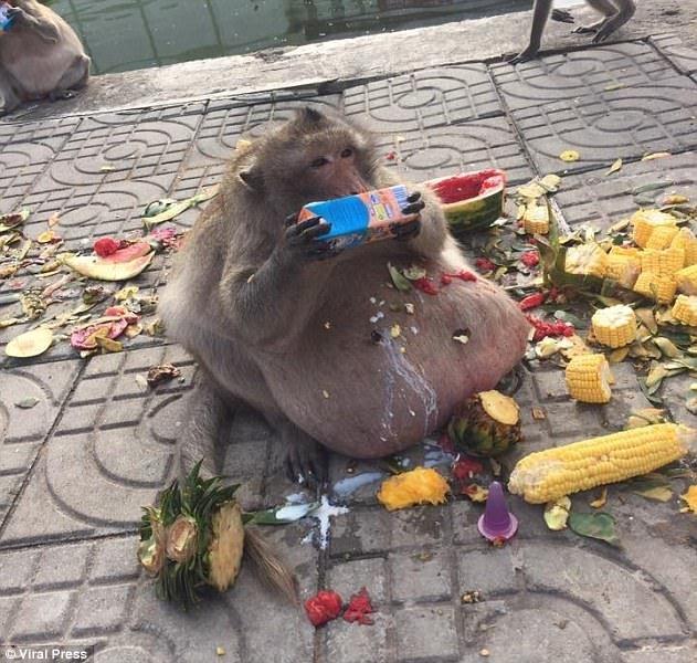 Obez maymun diyet kampından kaçtı 1