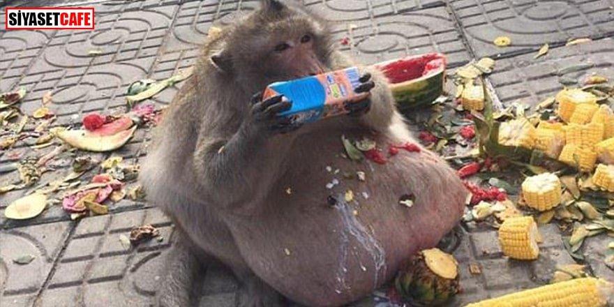 Obez maymun diyet kampından kaçtı