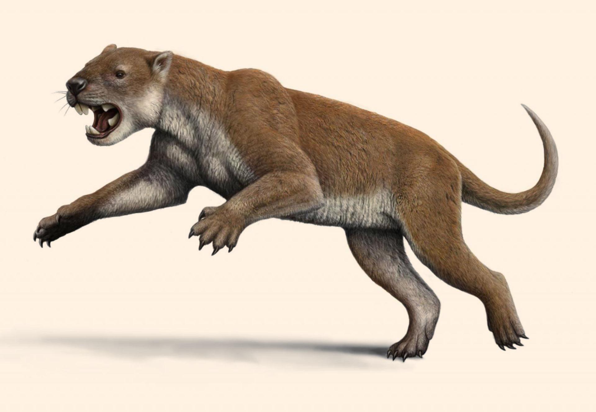 Marsupial aslan: fotoğraf, bilgi, açıklama