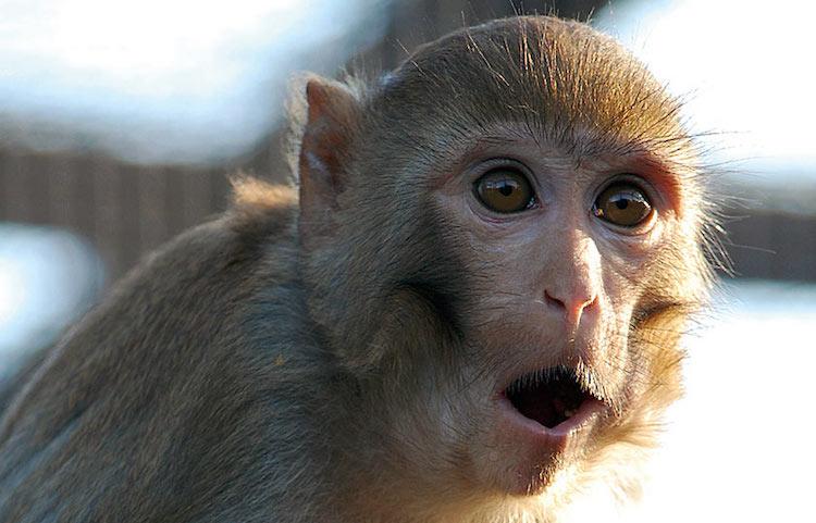 """Maymunların """"serbest dolaşımı"""" yasaklanıyor"""