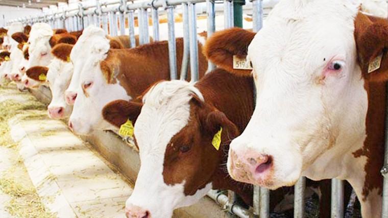 100 bin baş sığır ithal edilecek