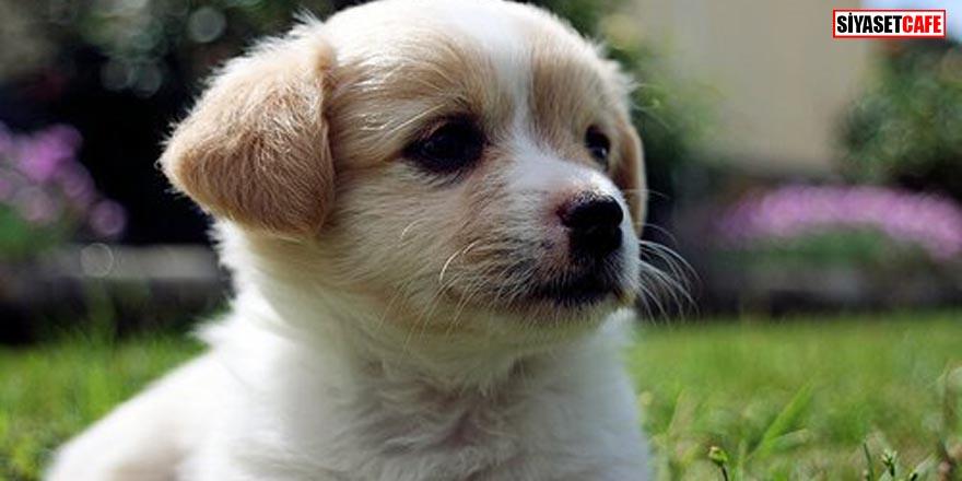 Köpeklerin burunları neden siyah renktir?
