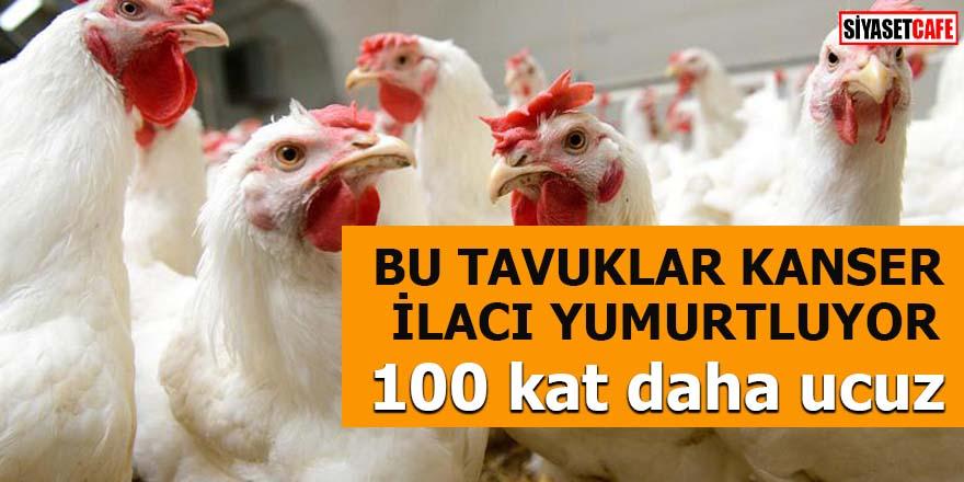 Bu tavuklar kanser ilacı yumurtluyor 100 kat daha ucuz