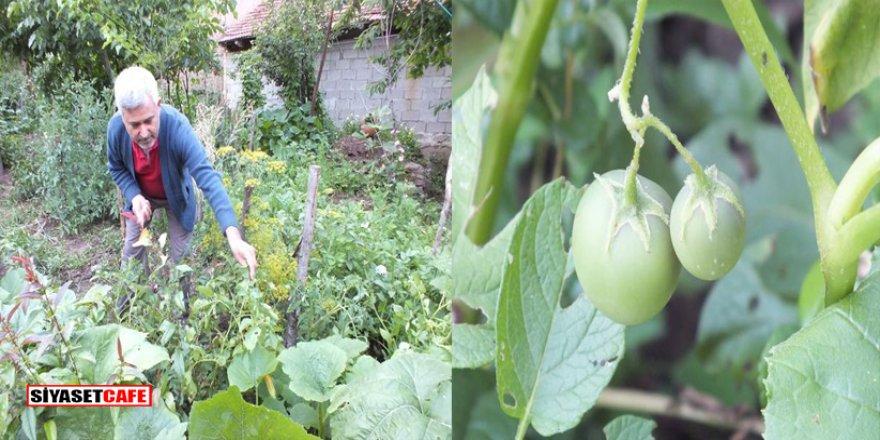 Köylüler patates diye ekti domates çıktı
