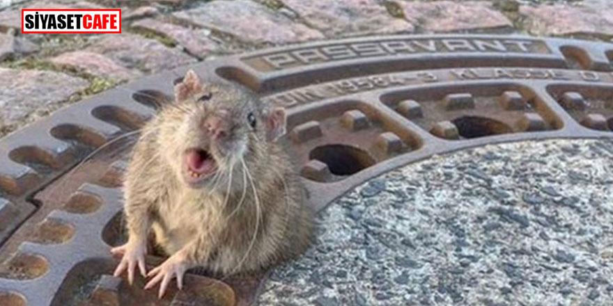 Korku senaryosu! Ülkeyi fareler istila edecek