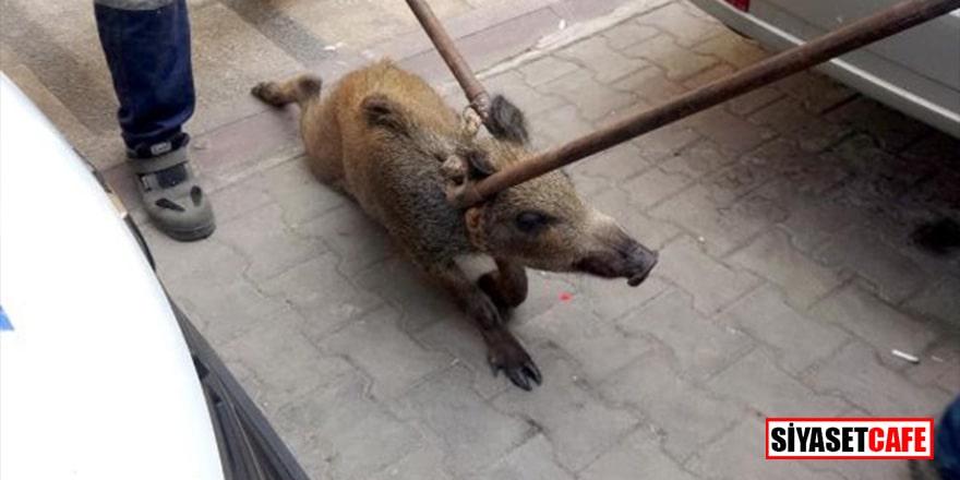Şehrin göbeğinde yaban domuzu şoku! Apartmana saklandı
