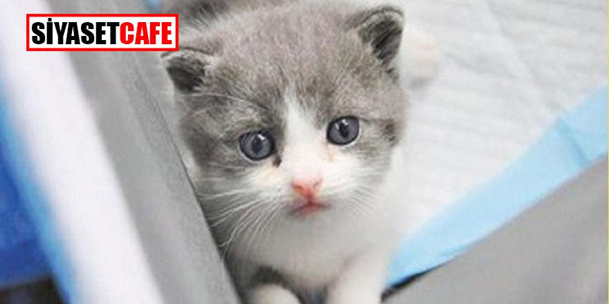 İş adamı ölen kedisini klonlattı!