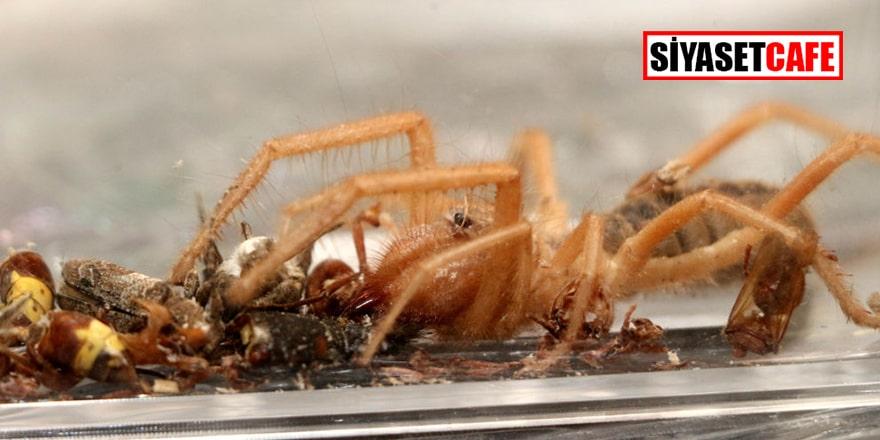 Et yiyen örümcek Türkiye'de: Ona Hüsamettin diyoruz