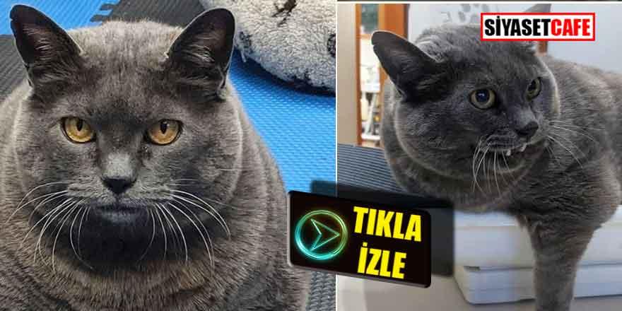 Tıklanma rekorları kırdı; Obez kedi egzersizden böyle kaçıyor!