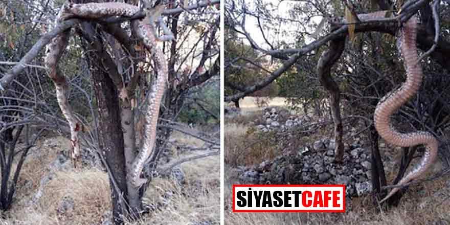 Elazığ'da 6 metrelik dev yılan herkesi dehşete düşürdü