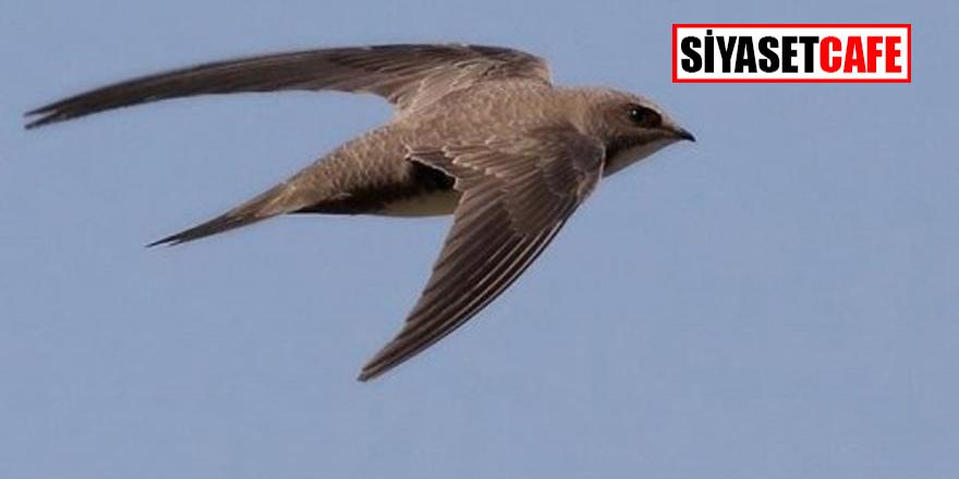 Nadir bulunan ve Fil Suresi'nde adı geçen Ebabil Kuşları Türkiye'ye neden geldi?