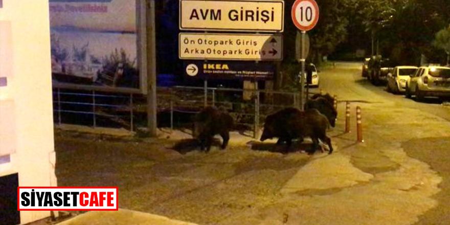 Yaz tatillerinin gözde ilçesine domuzlar indi