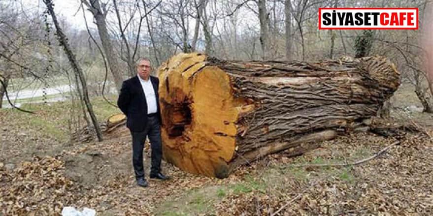 """Haytap haykırdı: """"500 yıllık ağaçları kestiler!"""""""