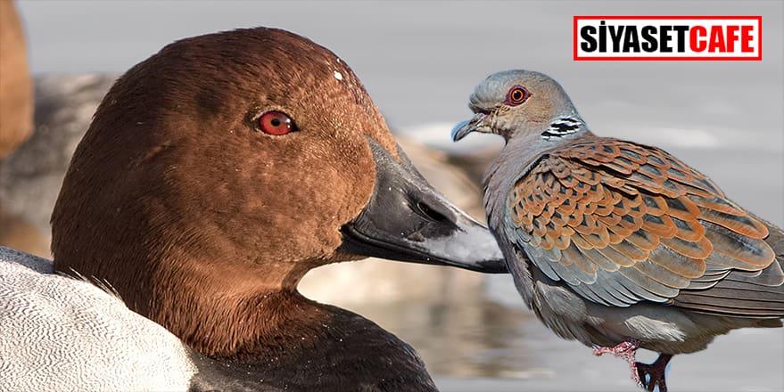 Nesli tehlikedeki kuşlara avlanma izni