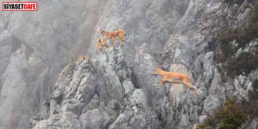 Tepki çeken dağ keçilerinin avlanabilmesi ihalesi iptal edildi