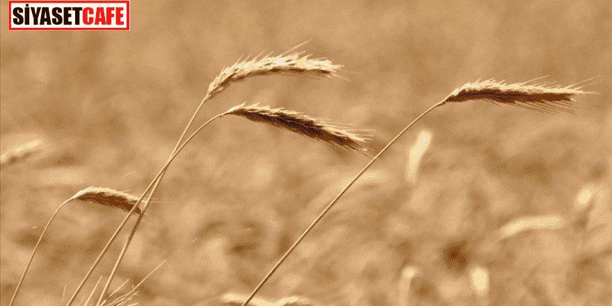 Gümrük vergisi sıfırlandı! Buğday, arpa ve mısırdan haber var!