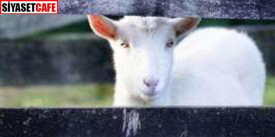 Keçi sütünde mucize! Koronavirüse karşı etkili