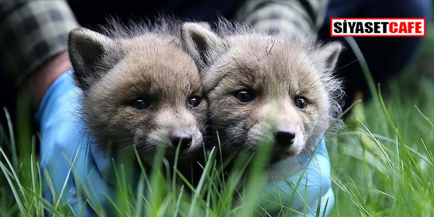 Köylülerin bulduğu 2 kurt yavrusu korumaya alındı