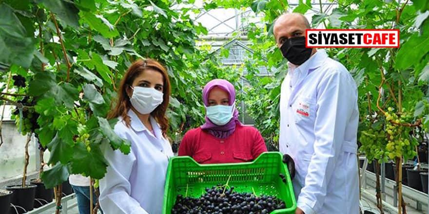 Topraksız üzüme 3 yıl önce başladılar tonlarca üretiyorlar!