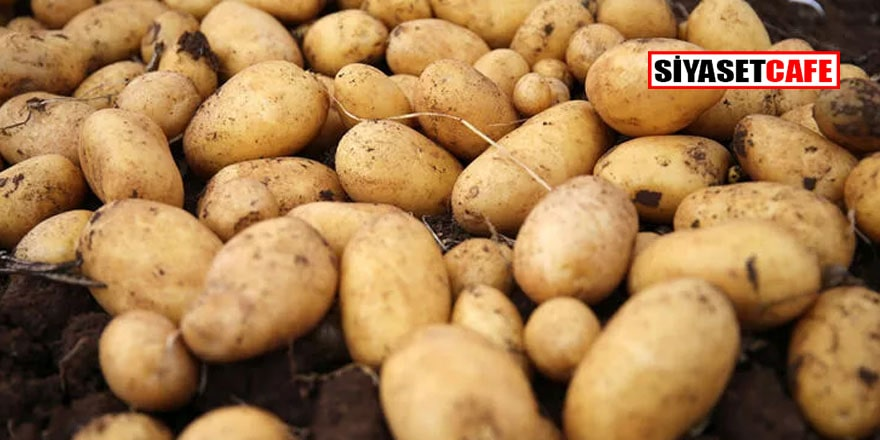 Tadından belli olmaya başlamıştı: Türkiye'nin patates tohumu artık yerli tohumdan