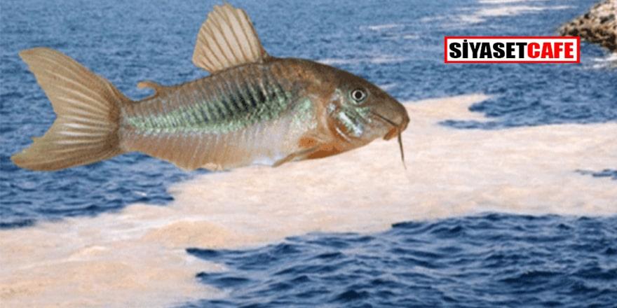 Marmara'da deniz salyası yiyen çöpçü balık projesi