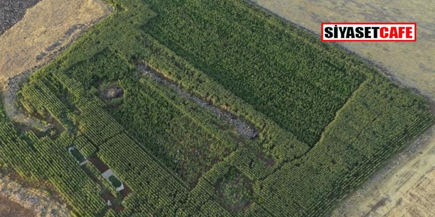 Şanlıurfa'da devletin parasıyla uyuşturucu ekimi