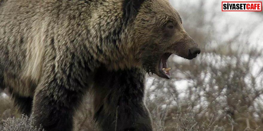 Bir hafta boyunca ayı saldırısına uğradı