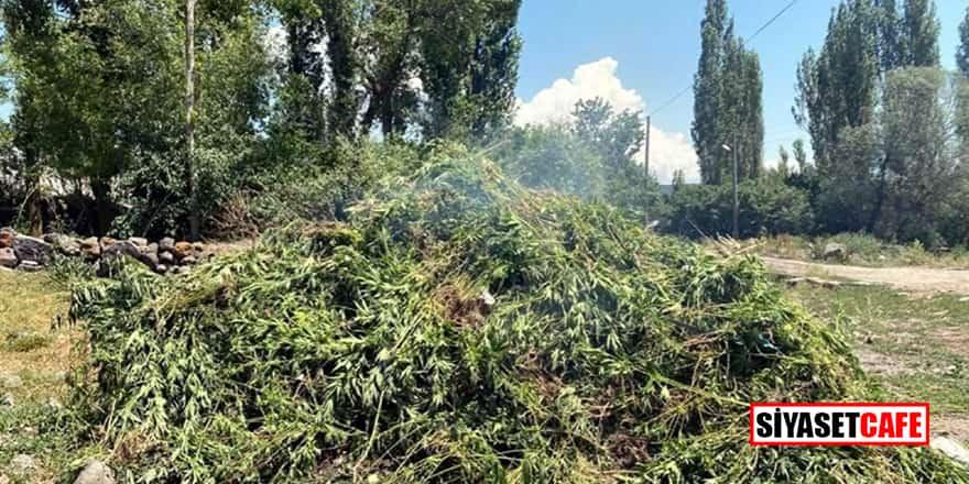 Ardahan'da arazide kendiliğinden yetişen 10 bin kök Hint keneviri imha edildi