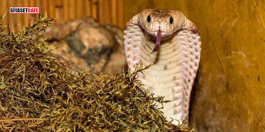 Eşini öldürmek için 'kobra yılanı' kiraladı