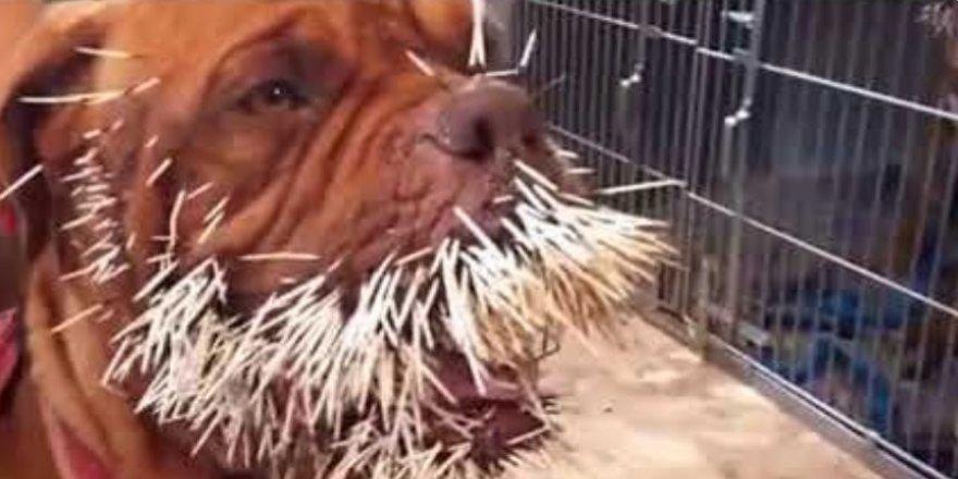 Kirpiye saldıran köpeğin hazin sonu