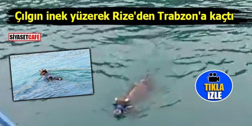 Çılgın inek yüzerek Rize'den Trabzon'a kaçtı