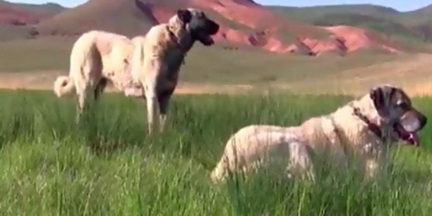 Dünyanın en güçlü Köpeklerinden biri Sivas Kangal köpeği