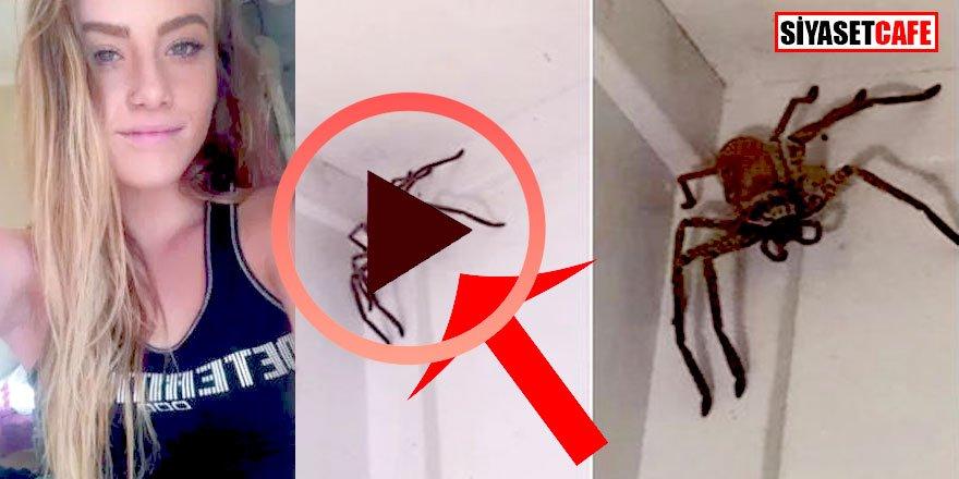 Avustralyalı avcı örümceği bira  kokusuyla mayıştı!