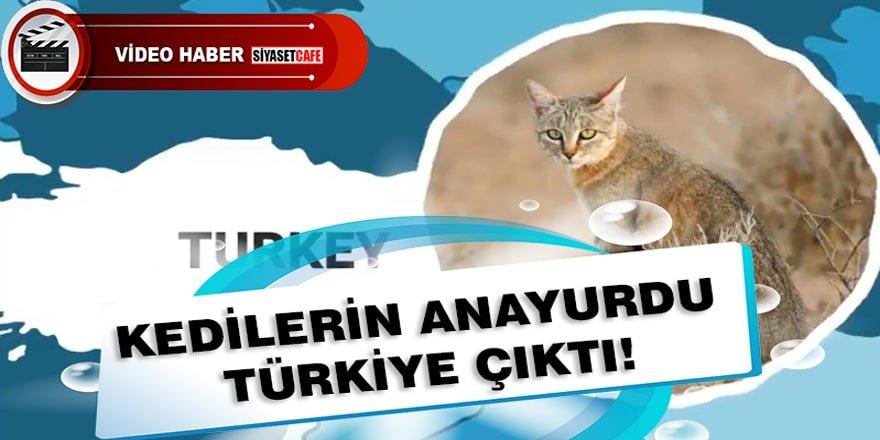 Meğer kedilerin anayurdu Türkiye imiş