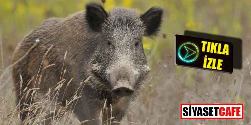 İstanbul'da aç domuzlar şehre indi