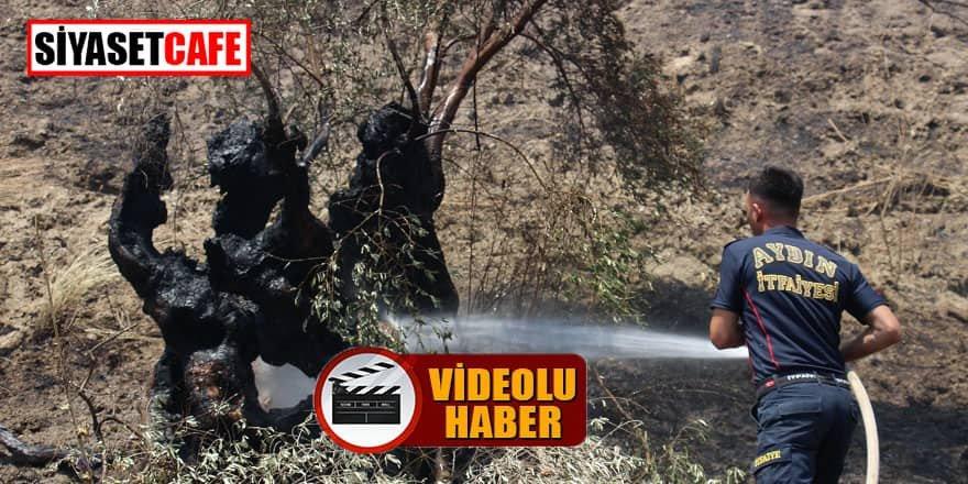 Aydın'daki görüntü yürekleri dağladı: Asırlık zeytin ağaçları küle döndü!