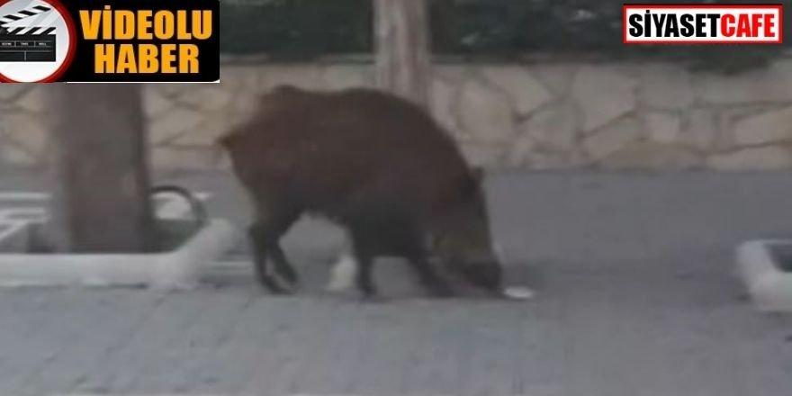 Yaban domuzları sokağa indi