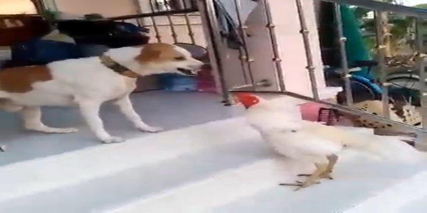 Köpeklere saldıran horozun videosu izlenme rekoru kırdı